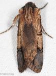 Noctuidiae, Dichagyris grotei
