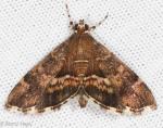 Crambidae, Beet Webworm, Loxostege sticticalis