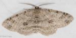 Geometridae, Canadian Melanolophia, Melanolophia canadaria