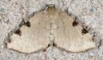 Geometridae, Three spotted Fillip, Heterophleps triguttaria