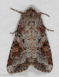 Noctuidae, Striped Garden Caterpillar Moth, Trichordestra legitima