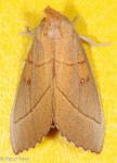 Notodontidae, White dotted Prominent, Nadata gibbosa