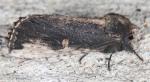 Notodontidae, Morning Glory Prominent, Schizura ipomoeae