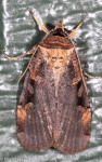 Noctuidae, Pink spotted Dart, Pseudohermonassa bicarnea