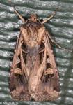 Noctuidae, Subgothic Dart, Feltia subgothica