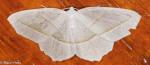 Geometridae, Pale Beauty, Campaea perlata