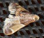 Pyralidae, Meal Moth , Pyralis farinalis