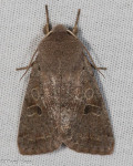 Noctuidae, Speckled Green Fruitworm Moth, Orthosia hibisci