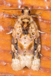 Tortricidae, Red banded Leafroller, Argyrotaenia velutinana