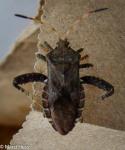 Coreidae, Helmeted Squash Bug, Euthochtha galeator