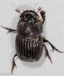 Scarabaeidae, Copris fricator