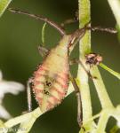 Coreidae, Piezogaster sp