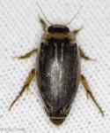 Dysticidae, Coptotomus longulus