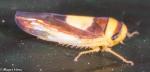 Cicadellidae, Saddleback Leafhopper, Colladonus clitellarius