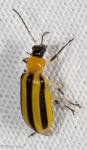Chrysolmelidae, Striped Cucumber Beetle, Acalymma vittatum
