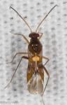 Miridae, Sericophanes heidemanni