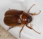 Scarabaeidae, Phyllophaga tristis