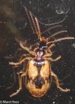 Carabidae, Lebia lobulata