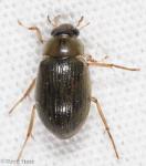 Hydrophilidae, Berosus sp