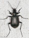 Carabidae, Wilcox's Caterpillar Hunter, Calosoma wilcoxi