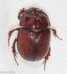Scarabaeidae, Serica sp
