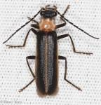 Cantharidae, Podabrus flavicollis
