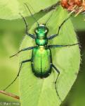 Carabidae, Six-spotted Tiger Beetle, Cicindela sexguttata
