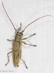 Cerambycidae, Linden Borer, Saperda vestita