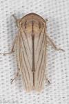 Cicadellidae, Silver Leafhopper, Athysanus argentarius
