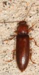 Elateridae, Hemicrepidius memnonius