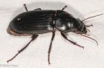 Carabidae, Harpalus Subgenus Megapangus