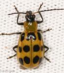 Chrysomelidae, Spotted Cucumber Beetle, Diabrotica undecimpunctata