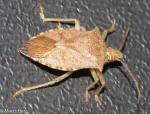 Pentatomidae, One spotted Stink Bug, Euschistus variolarius