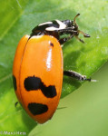 Coccinellidae, Convergent Lady Beetle, Hippodamia convergens