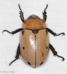 Scarabaeidae, Spotted June Beetle, Pelidnota punctata