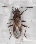 Rhopalidae, Arhyssus nigristernum