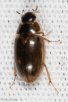Hydrophilidae, Tropisternus lateralis nimbatus