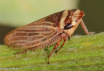 Cicadellidae, Aphrodes sp