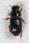 Scarabaeidae, Small Dung Beetle, Ataenius sp