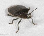 Pentatomidae, Banasa sordida