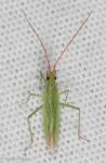 Miridae, Megaloceroea recticornis