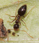 Formicidae, Prenolepis imparis, False Honey Ant