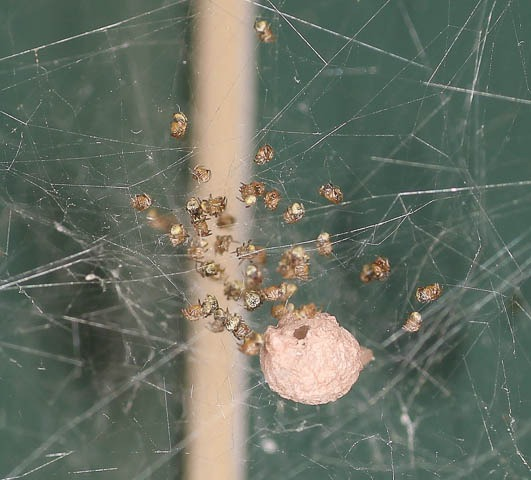 American house spider baby