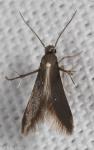 Schreckensteiniidae, Schreckensteinia erythriella