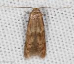 Blastobasidae, Scavenger Moths, Pigrita sp