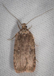 Depressariidae, Clemens' Agonopterix, Agonopterix clemensella