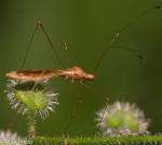 Berytidae, Jalysus spinosus or wickhami