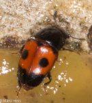 Glischrochilus sanguinolentus, Nitidulidae