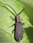 Lycidae, Erotides sculptilis