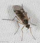 Anisopodidae, Sylvicola (subgenus Anisopus) sp